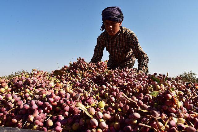 افزایش 2 برابری برداشت پسته در میبد یزد