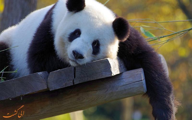 باغ وحش پکن، مکانی برای تماشای پانداهای بامزه!