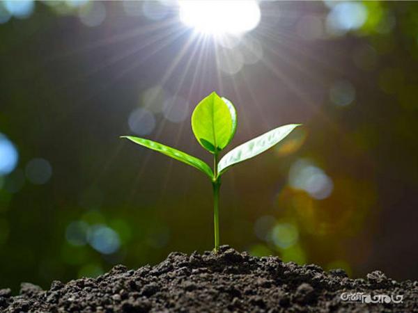 قرار دادن سنسور جدید MIT در درون گیاه برای اندازه گیری سطح آرسنیک خاک