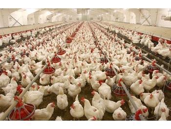 ارسال 71 هزار قطعه مرغ زنده بهشهر به کشتارگاه